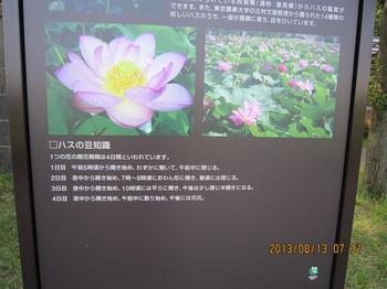 1、蓮の豆知識.JPG